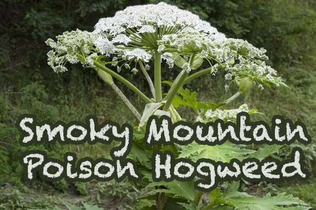 Smoky Mountain poison hogweed is quite dangerous and should be avoided at all times!