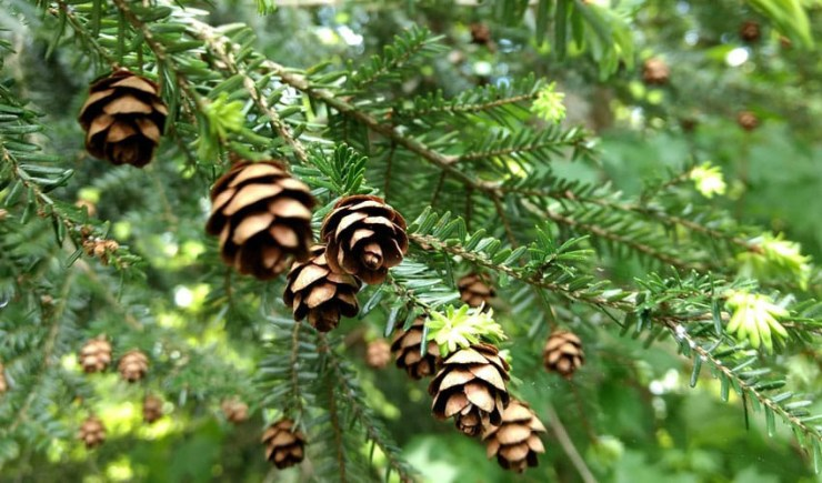 The Hemlock Wooly Adelgid has decimated the forest up and down the east coast.
