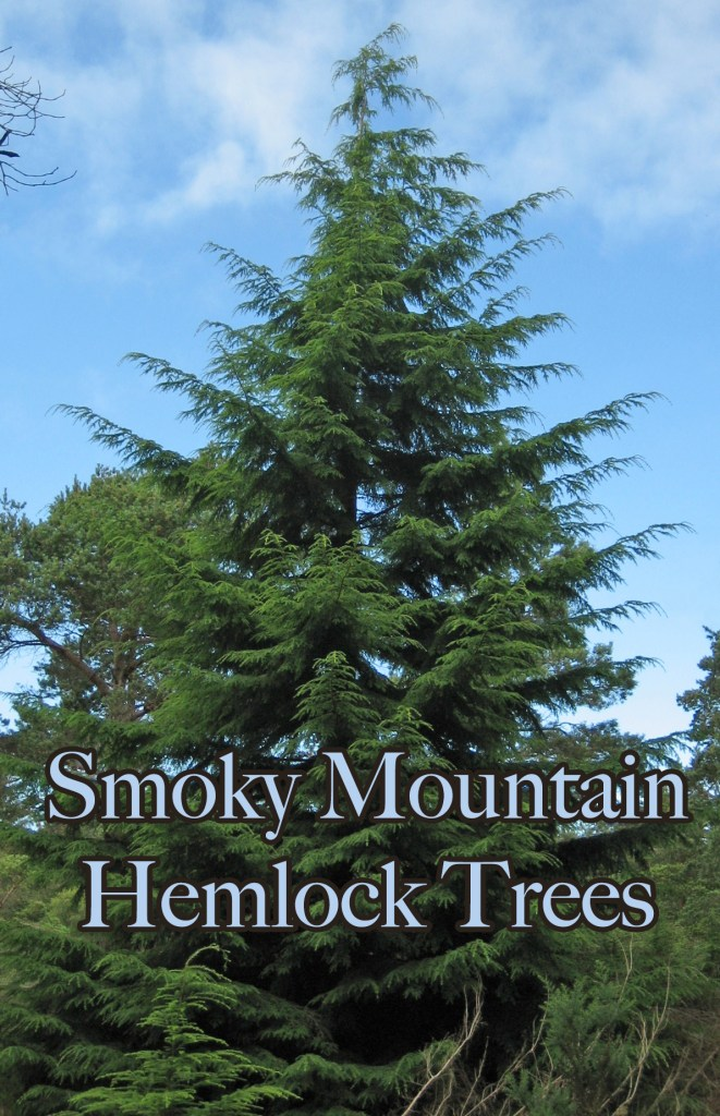 Smoky Mountain Hemlock trees are one of the most beautiful evergreens in GSMNP!