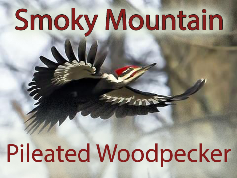 Smoky mountain pileated woodpeckers bring color and music to the mountains!
