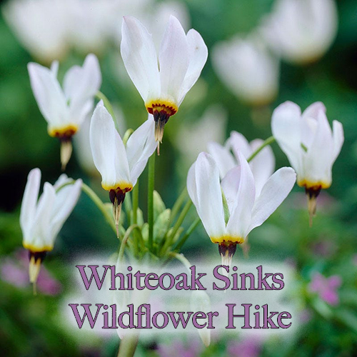 Whiteoak Sinks wildflower hikes are one of a kind!