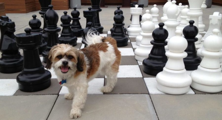 cheap airline tickets and dog playing chess