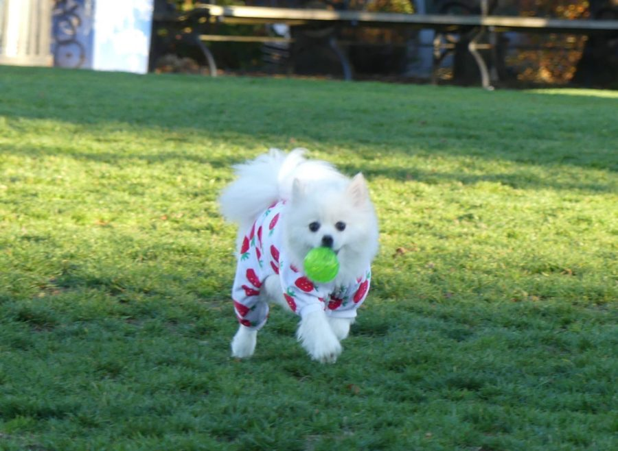 Dog in Jammies at Cal Anderson Park Seattle WA