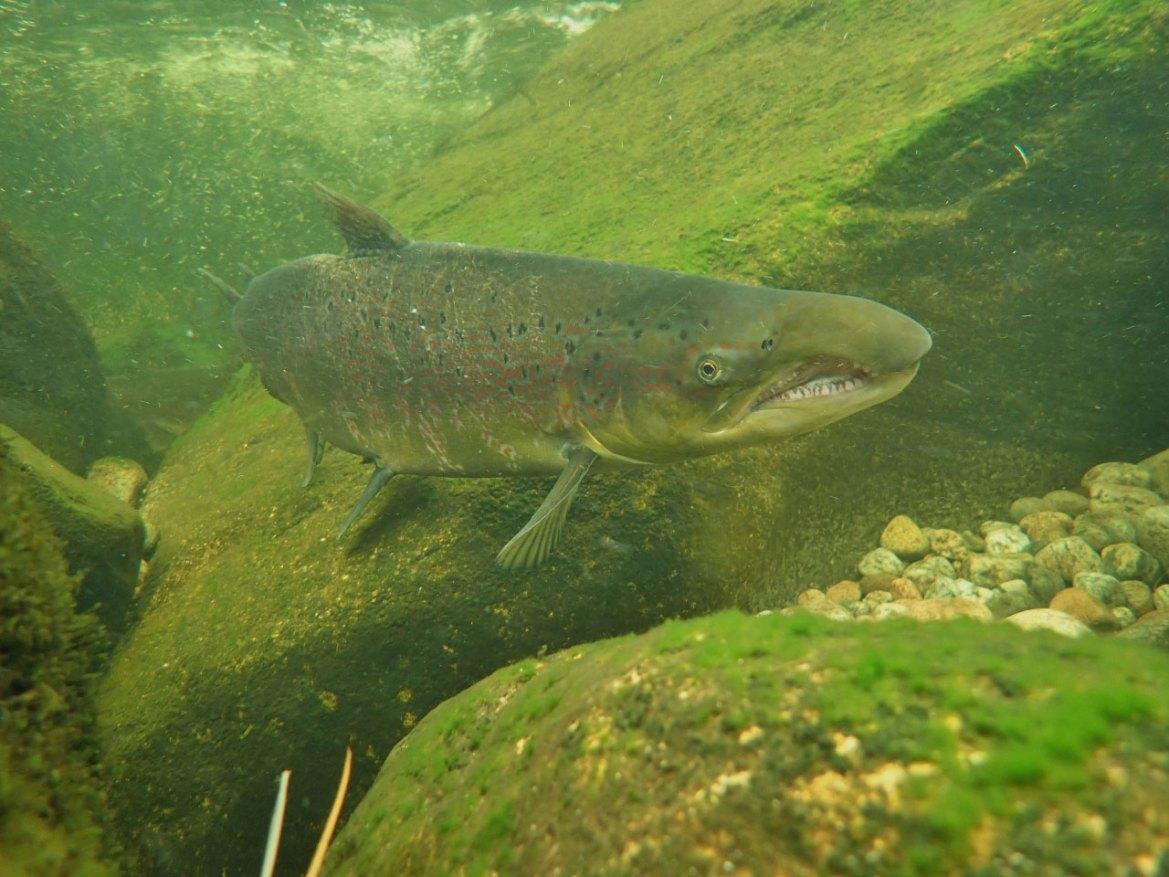Bilde av en kjønnsmoden hannlaks i en elv.