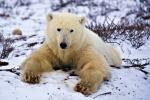 photo of Arctic Wildlife Hudson Bay Polar Bear Canada