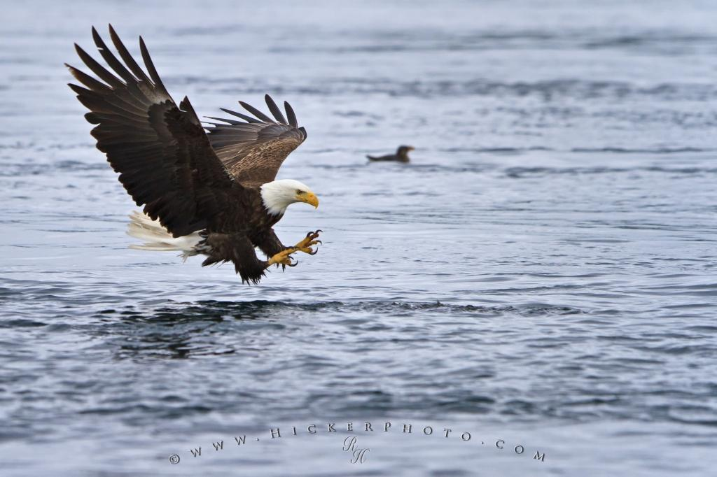 fishing bird bald eagle pictures photo information