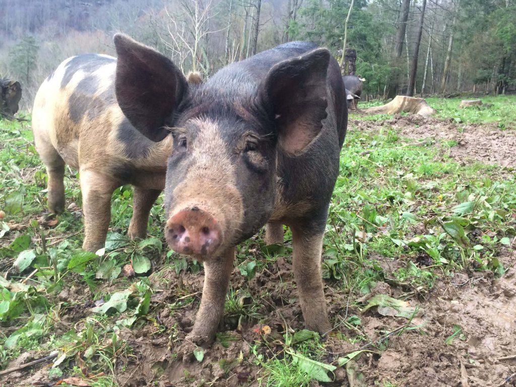 pastured-mc-pork