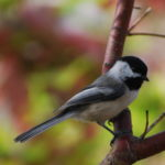 Songbirds, Black Capped Chickadee