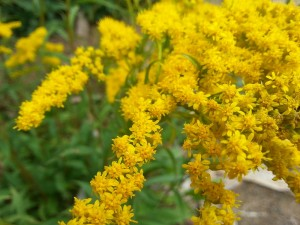 early-goldenrod-solidago-juncea-2