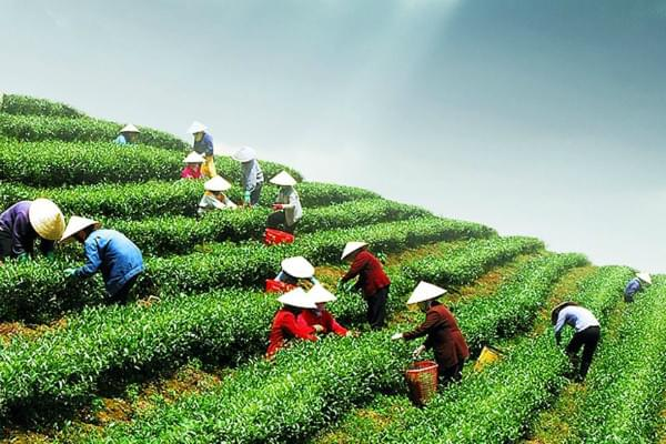 tea-farm-in-vietnam