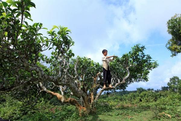 Tea Plant In Suoi Giang
