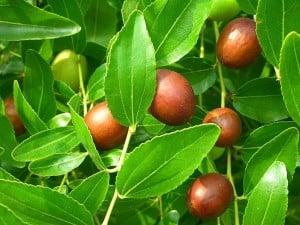 propiedades medicinales del azufaifo