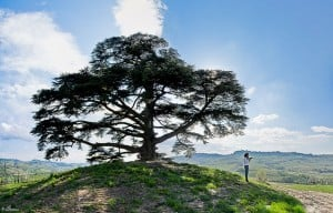 Cedro libanés