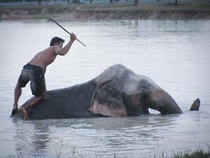 De gruwelijke training van een olifant…