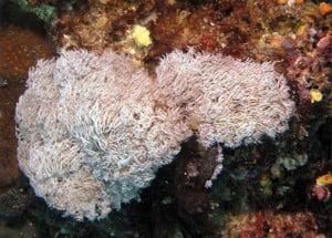 Nieuw koraal in Thailand ontdekt