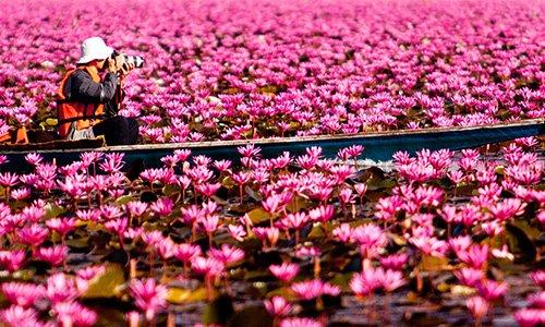 Zee van rode lotussen in Noord-Thailand