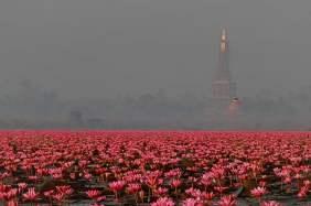 Rode waterlelie, Udon Thani