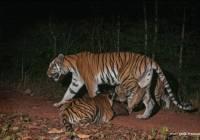 wilde tijgers