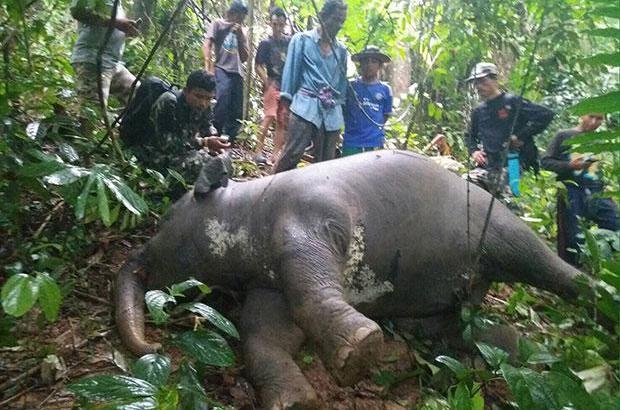 Wild Thais olifantenjong dood gevonden