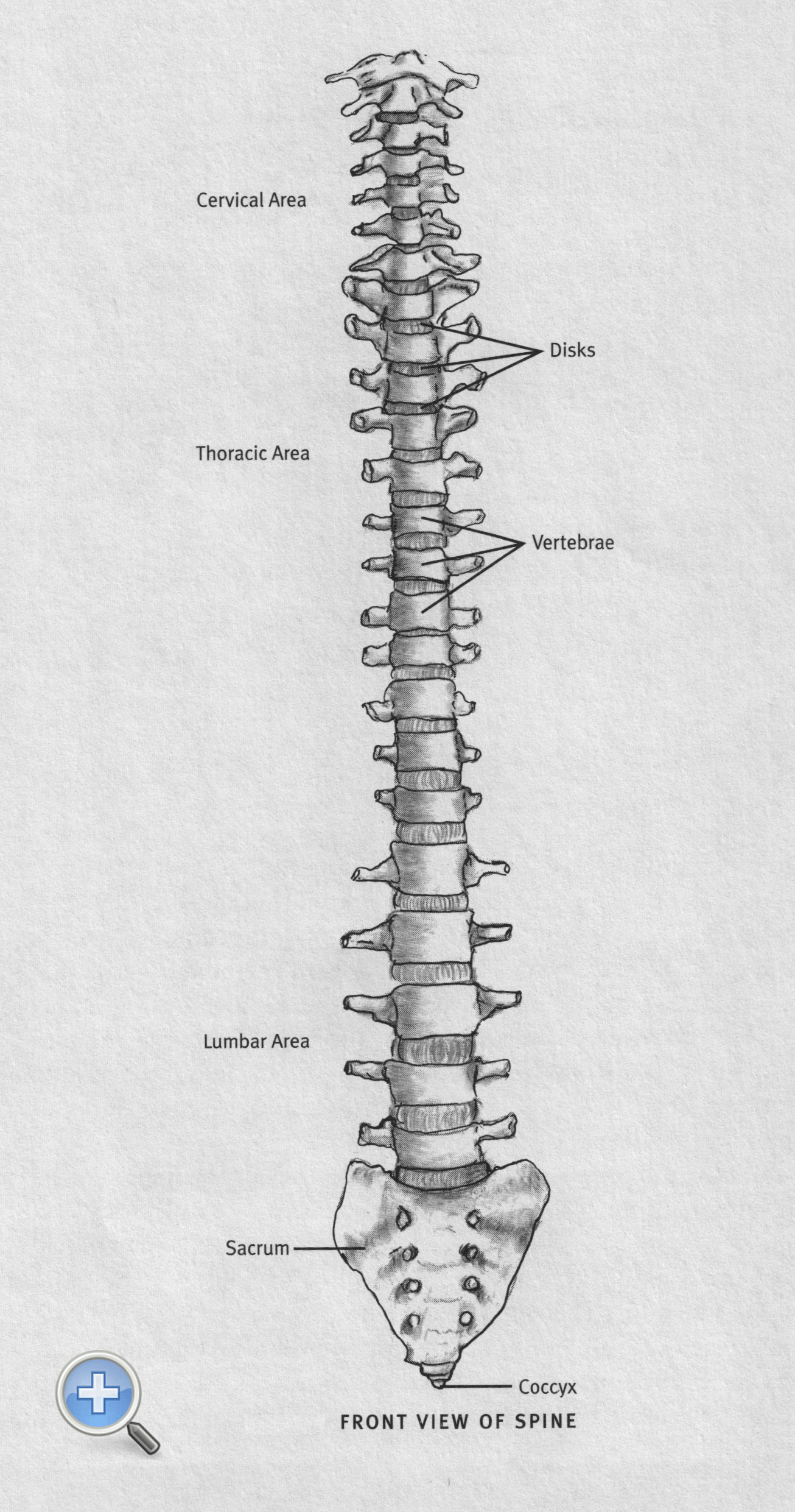 How The Spine Works