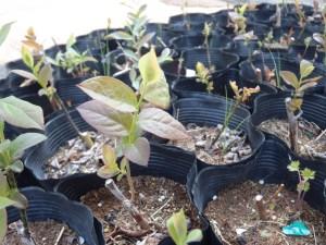 ブルーベリーの挿し木