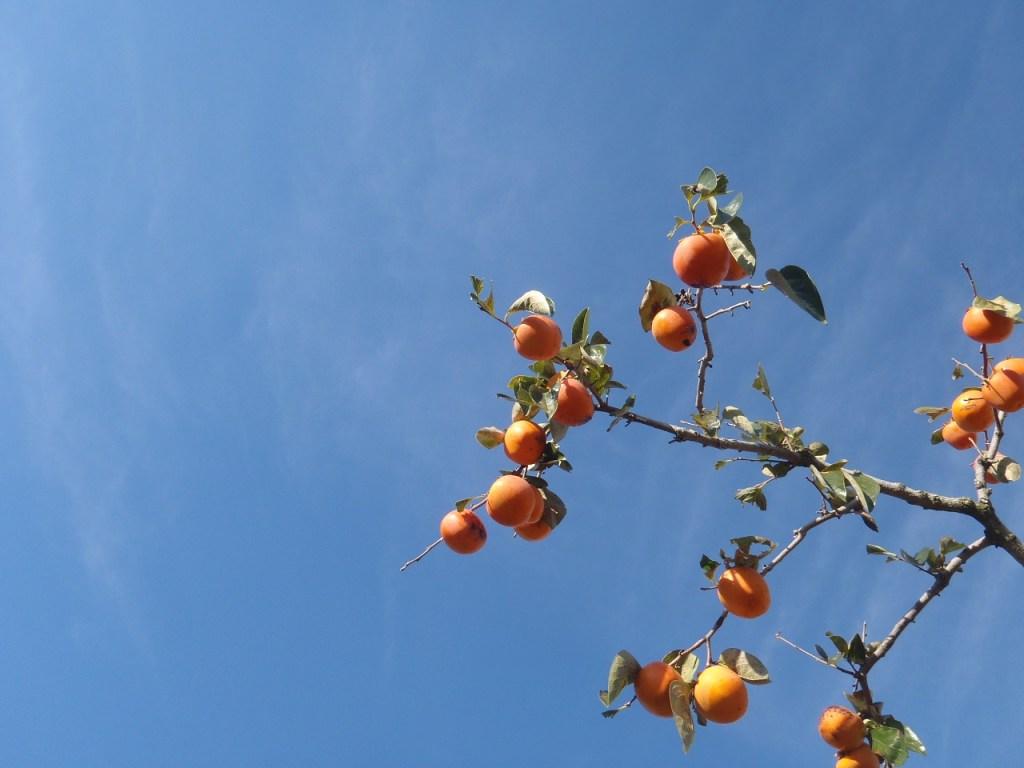 百目柿が適期