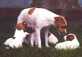 Jack Russell Terriers Texas Jack Russell Terrier Breeders