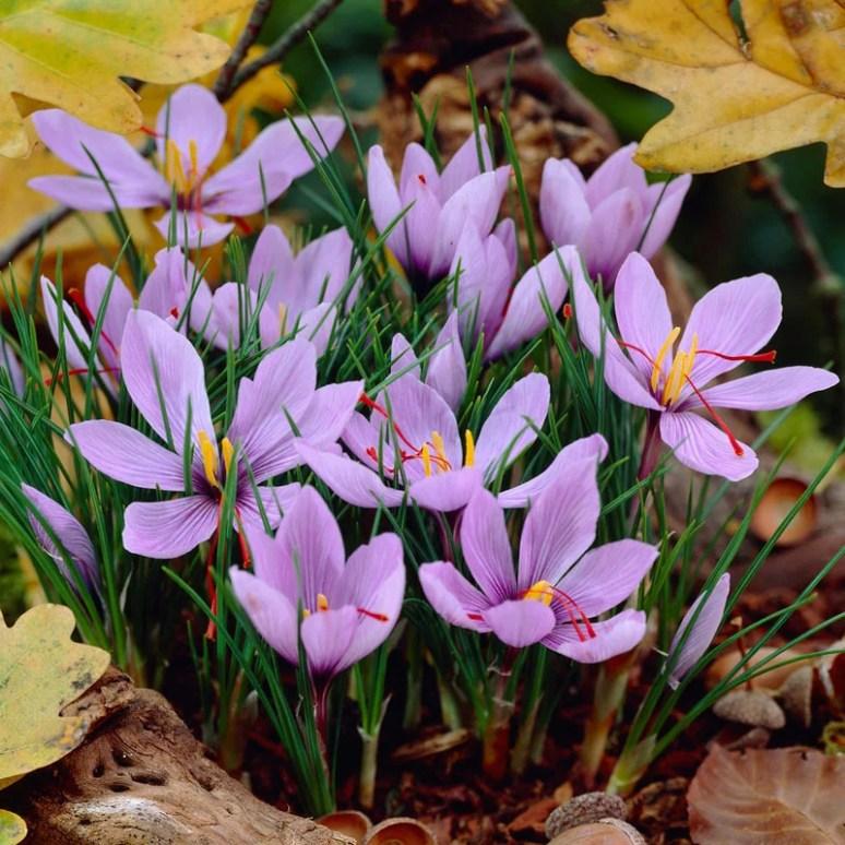Saffron Crocus | High Country Gardens