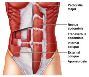 trunk muscles core stability