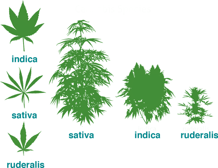 types of marijuana