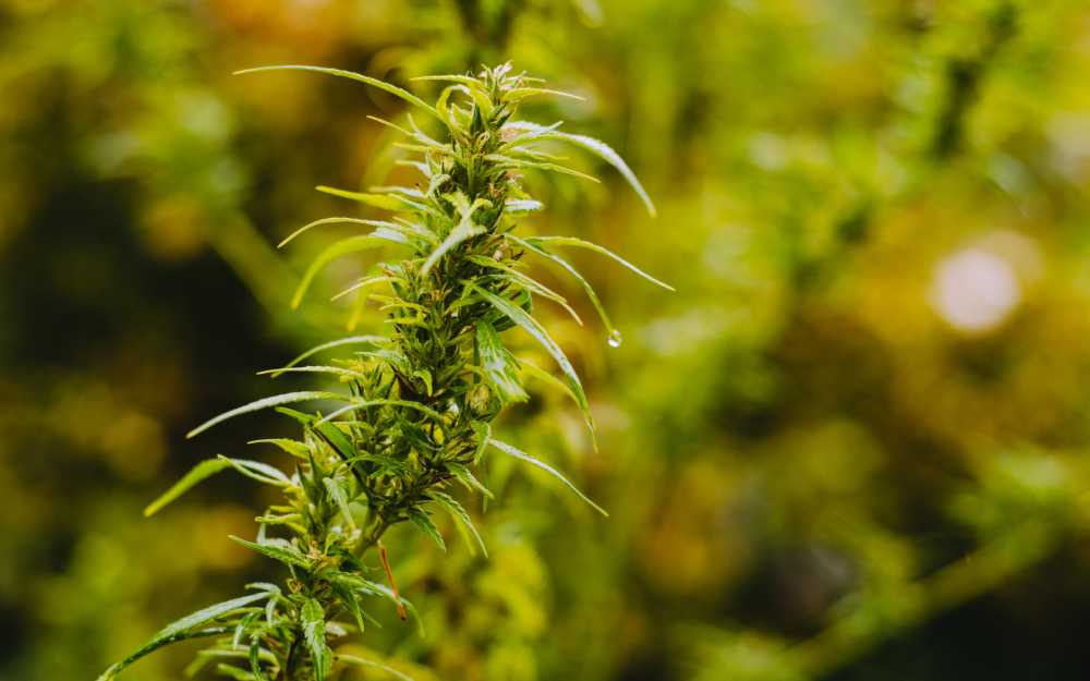 Male Cannabis Plant: How To Identify And Use The Male Weed Plant