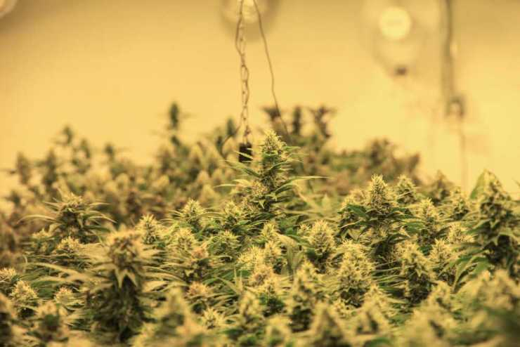 Marijuana plants in a room