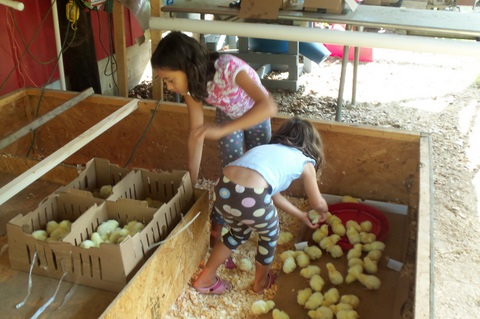 broiler chickens at high grace farm