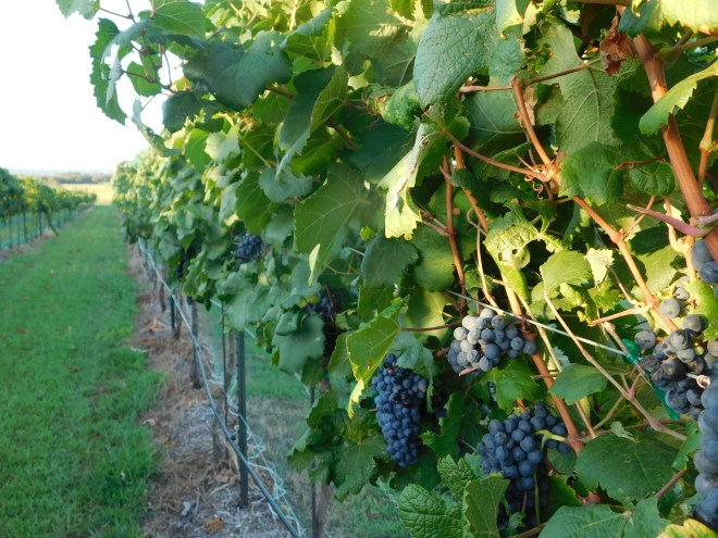 burnet county wineries, vineyard
