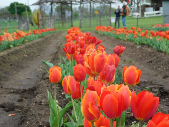 Tulip picking at Sweet Berry Farm