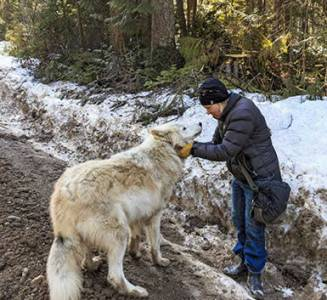 Walking with Wolves in Golden  BC Rescue center owner Shelley Black with wolf