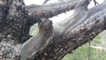 Tree damaged in fire.
