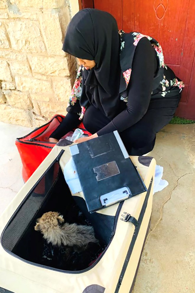 CCF veterinarian Dr Asma Bile prepares cubs rescued from traffickers to make the journey to Hargeisa to the CCF safe house. (Photo: CCF)