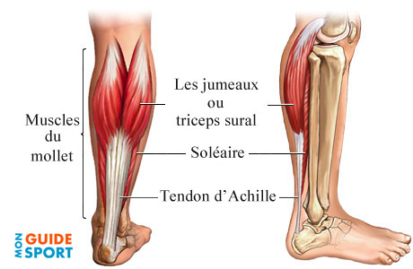 muscles-mollets