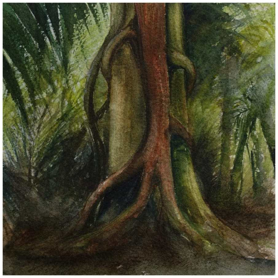 Rata growing on host tree. Watercolour sketch