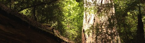 A hiker crouching beneath a downed tree is dwarfed by the towering redwoods.