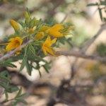 Bladderpod flowers