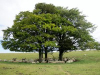 Cotswold Way - Sheep under tree