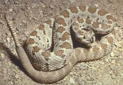 https://i2.wp.com/www.hikethegeek.com/LA/Images/Animals/Rattlesnake.jpg
