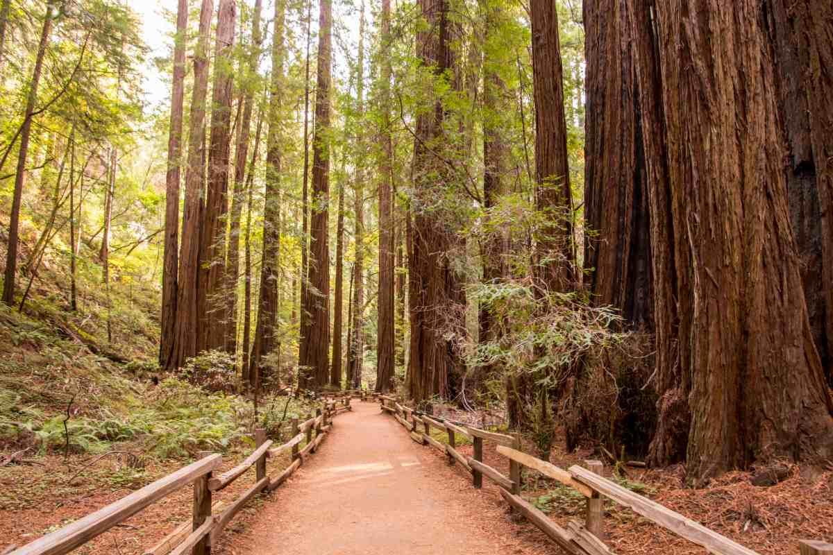 A Stroll Through Muir Woods - Marin County