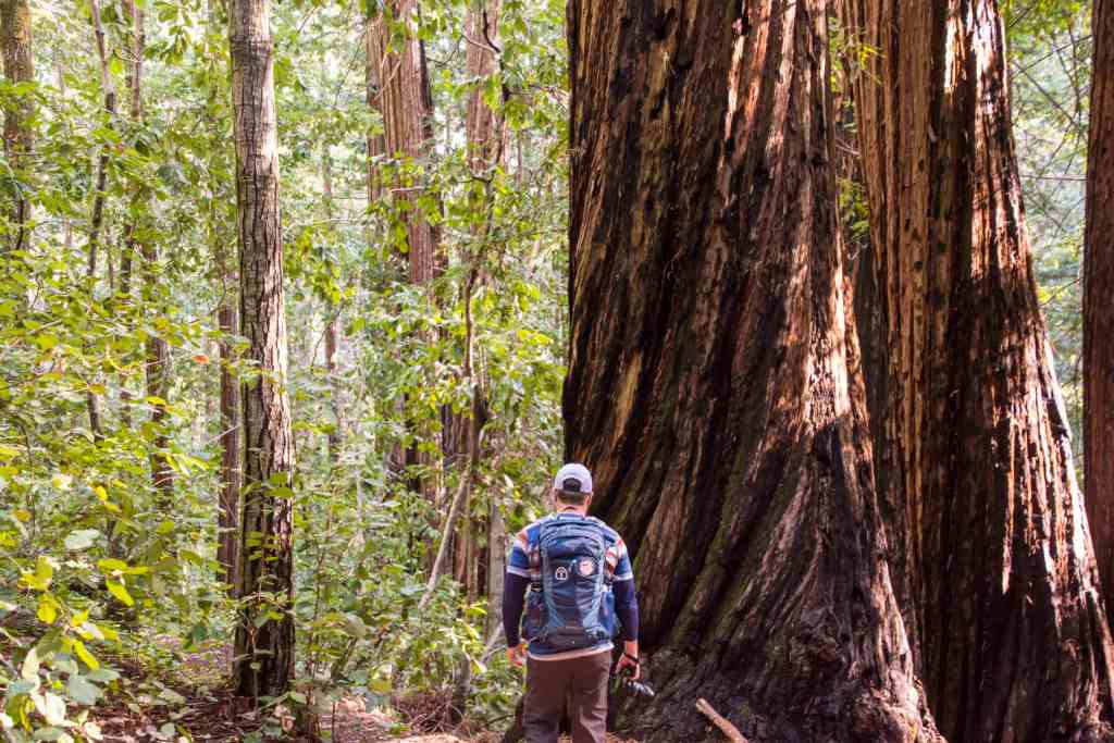 large redwoods with hiker