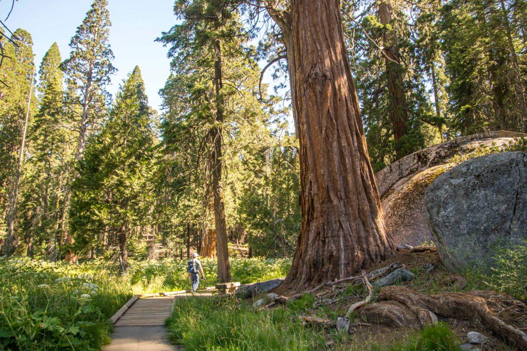 big tree loop