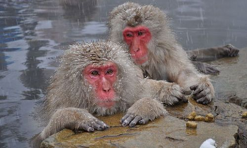 Into the Wild: Close Encounters with Japan's Wild Snow Monkeys