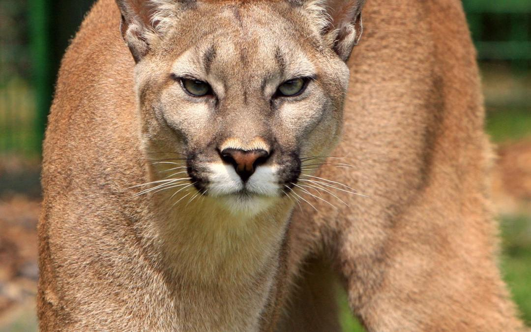 Mountain Lions in the Shawnee National Forest