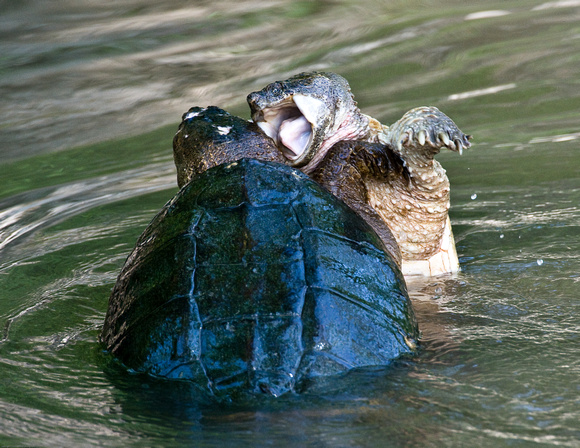 Image result for turtle fight